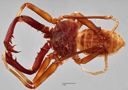 preview Charinus neocaledonicus Simon 1895