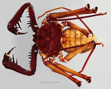 preview Phrynus goesii Thorell, 1889