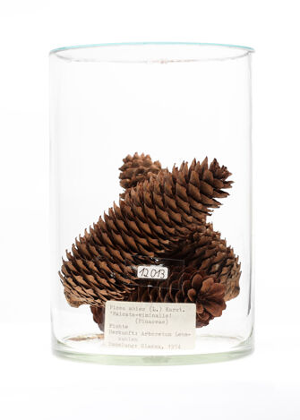 preview Picea abies