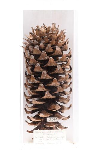preview Pinus ayacahuite
