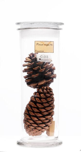 preview Pinus nigra