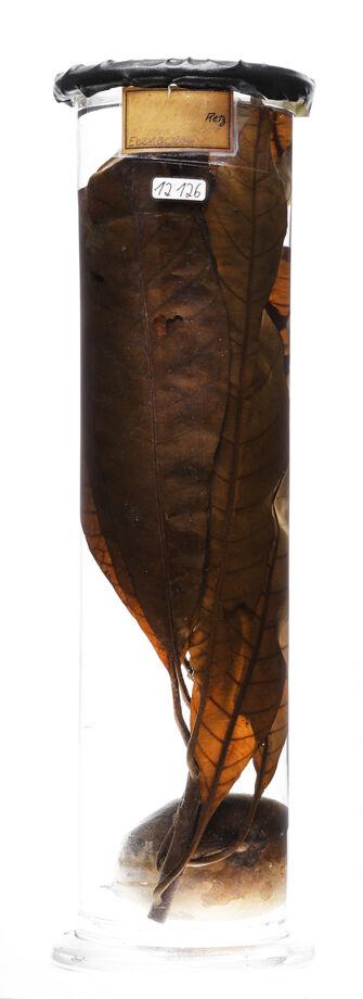 preview Diospyros nigra