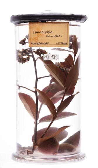preview Landolphia heudelotii