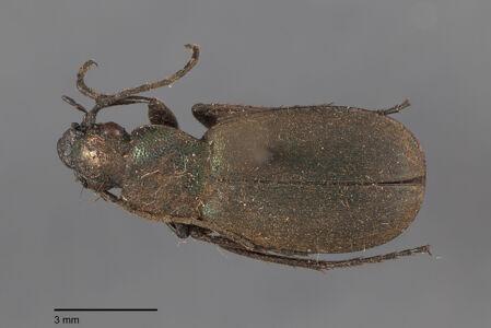 preview Chlaenius, aeneocephalus, Dejean 1826