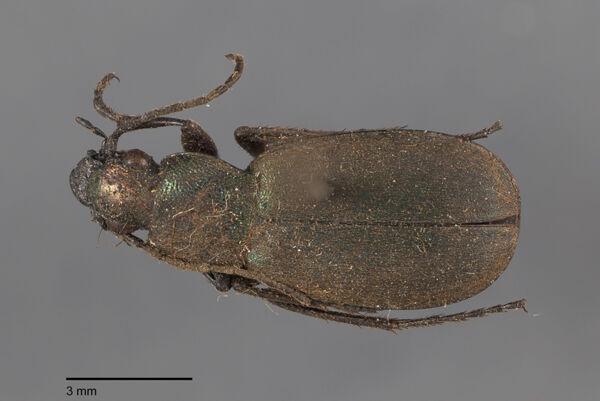 Vorschaubild Chlaenius, aeneocephalus, Dejean 1826