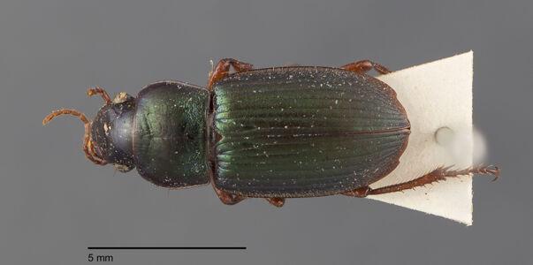 preview Harpalus, affinis, Dejean 1829