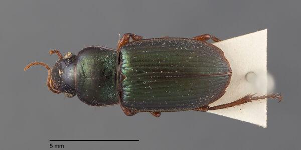 Vorschaubild Harpalus, affinis, Dejean 1829