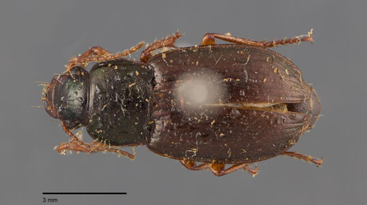 preview Harpalus, affinis, Schrank 1781