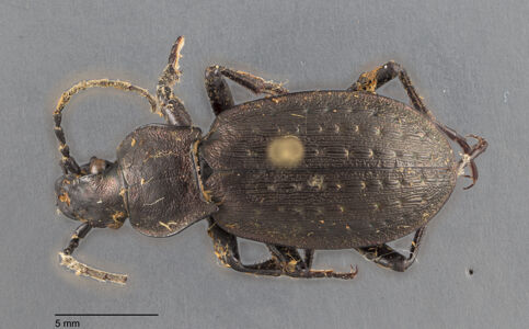 preview Carabus, alpestris, Sturm 1815