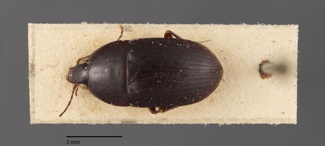 preview Oodes, amaroides, Dejean 1831