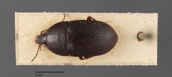 Vorschaubild Oodes, amaroides, Dejean 1831