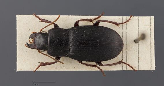 preview Harpalus, atratus, Latreille 1804