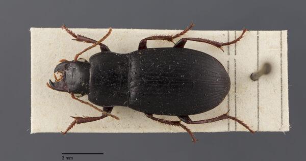 Vorschaubild Harpalus, atratus, Latreille 1804