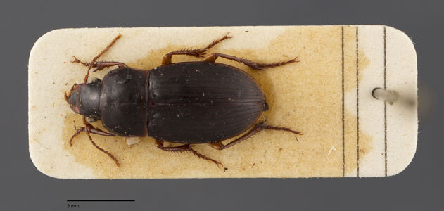preview Harpalus, autumnalis, Duftschmid 1812
