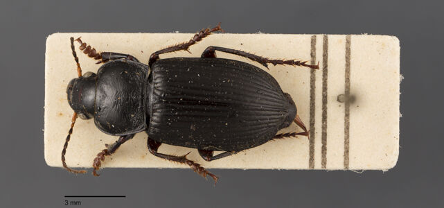 preview Anisodactylus, binotatus, Fabricius 1787