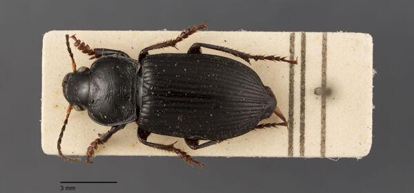 Vorschaubild Anisodactylus, binotatus, Fabricius 1787
