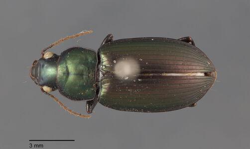 preview Anisotarsus, cupripennis, Germar 1824
