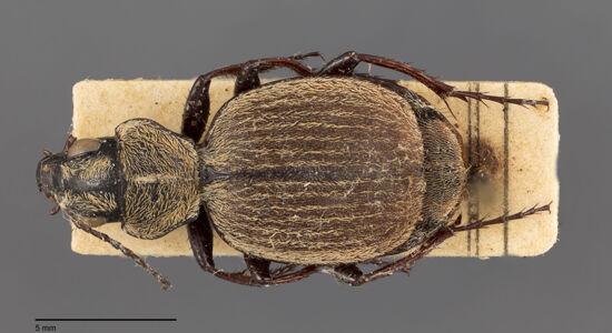 translation missing: de.preview Graphipterus, ellipticus, Burgeon 1928