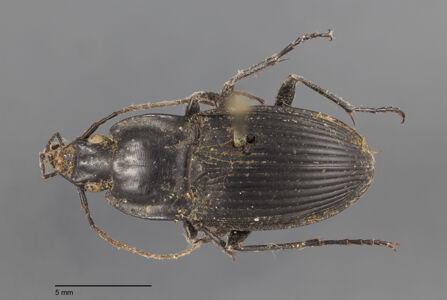 translation missing: de.preview Dicaelus, elongatus, Bonelli 1813