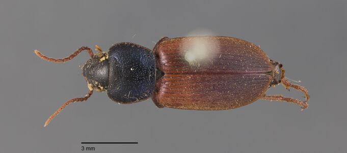 preview Gynandromorphus, etruscus, Quensel in Schönherr 1806