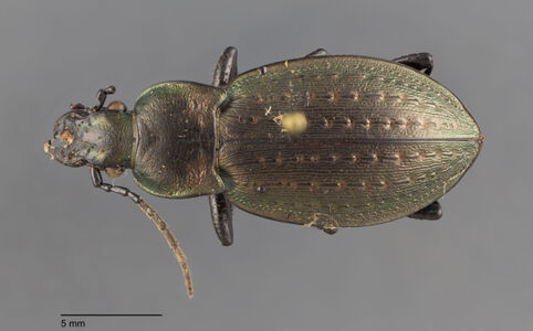 preview Carabus, fairmairei, C. G. Thomson 1875