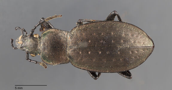 preview Carabus, fairmairei, Beuthin 1899