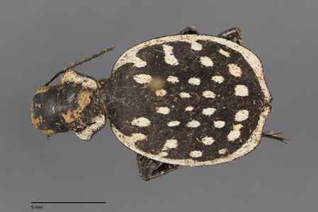 translation missing: de.preview Graphipterus, luctuosus, Dejean 1825