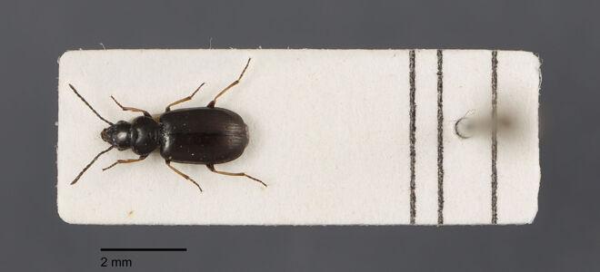 preview Amblystomus, metallescens, Dejean 1829