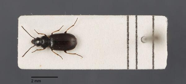 Vorschaubild Amblystomus, metallescens, Dejean 1829