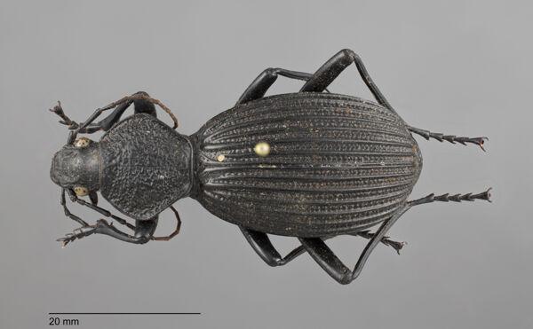 Vorschaubild Tefflus, meyerlei, Fabricius 1801