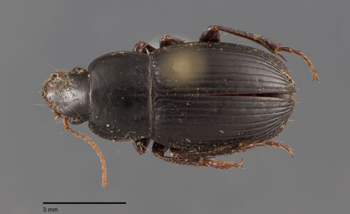preview Harpalus, neglectus, Audinet-Serville 1821