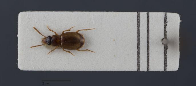 preview Perigona, nigriceps, Dejean 1831