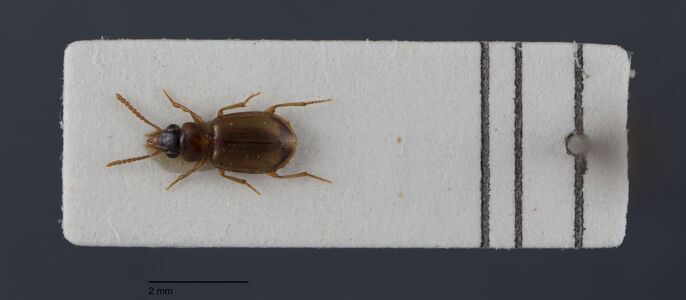translation missing: de.preview Perigona, nigriceps, Dejean 1831
