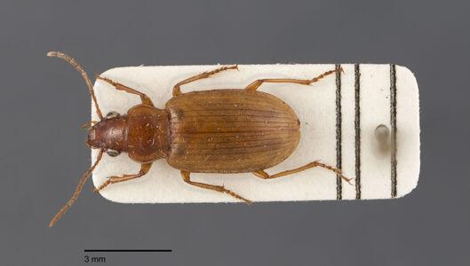 preview Dicheirotrichus, pallidus, Dejean 1829