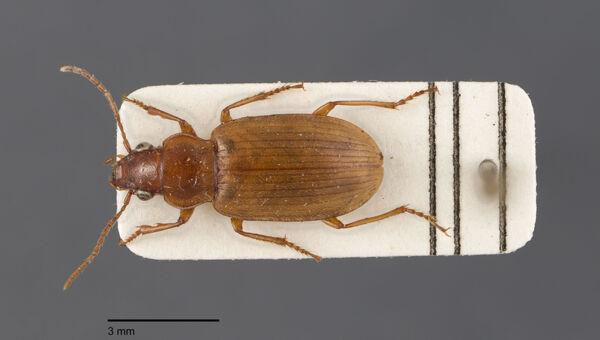 Vorschaubild Dicheirotrichus, pallidus, Dejean 1829
