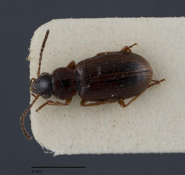 Vorschaubild Trichocellus, placidus, Gyllenhal 1827