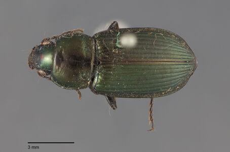 preview Anisodactylus, pseudoaeneus, Dejean 1829
