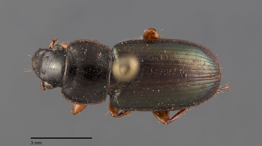 preview Harpalus, punctatostriatus, Dejean 1829