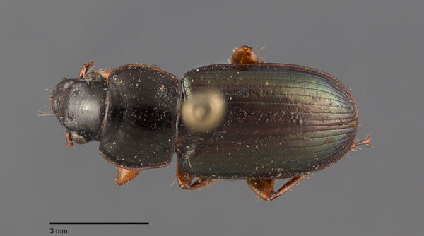 Vorschaubild Harpalus, punctatostriatus, Dejean 1829