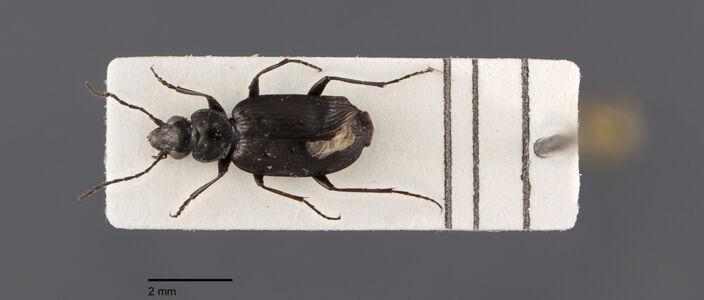 translation missing: de.preview Agonum, quadripunctatum, Dejean 1852