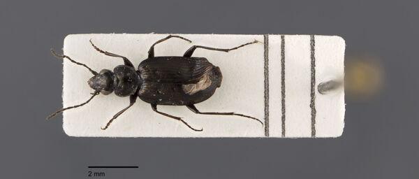Vorschaubild Agonum, quadripunctatum, Dejean 1852