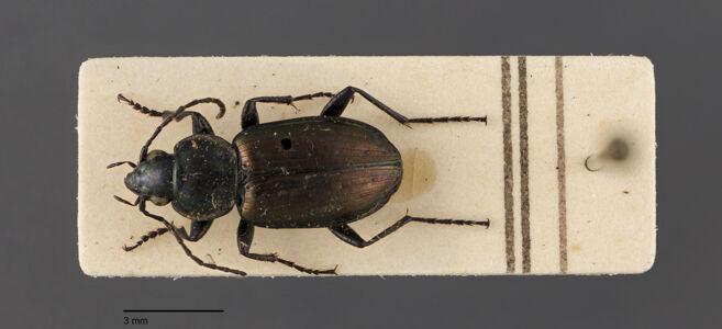 translation missing: de.preview Agonum, sexpunctatum, Linnaeus 1758