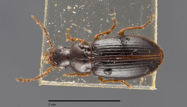 Vorschaubild Bradycellus, similis, Dejean 1829