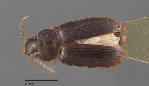 preview Selenophorus, striatopunctatus, Putzeys 1878