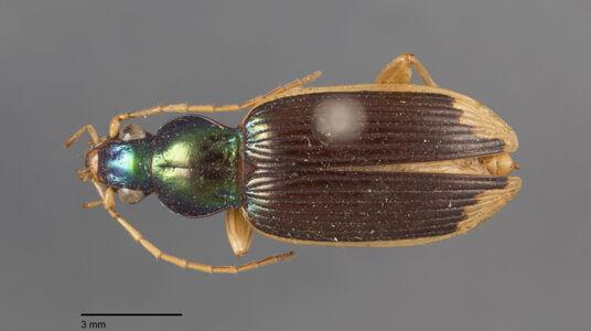 preview Chlaenius, sulcipennis, Dejean 1826