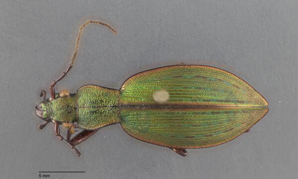 Vorschaubild Ceroglossus, sybarita, Gerstaecker 1858