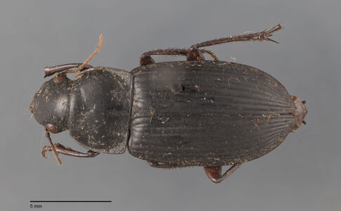 preview Harpalus, tridens, A. Morawitz 1862