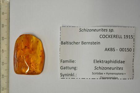 translation missing: de.preview ACHTUNG!!! Bernstein mit Blattlaus (Schizoneurites)