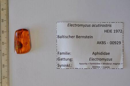 preview Bernstein m. 2 Blattläusen, Ameise, Spinnenrest, Apocrita