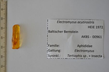 preview Bernstein m. 2 Blattläuse, Insekt